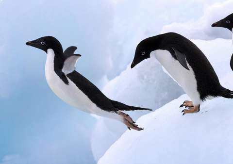Учёные выяснили, почему пингвины не могут летать
