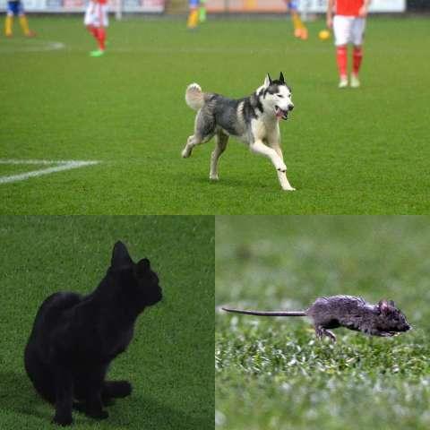 Футбол для всех: животные, которые выбежали на поле